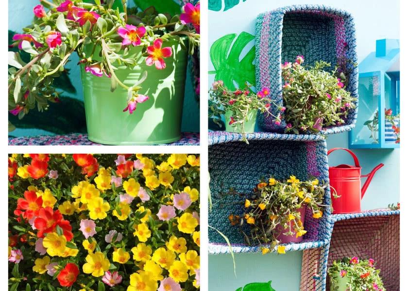 Portulaka Kwiat Na Sloneczny Balkon Fot Flower Council Holland Oraz Pixabay Pelargonium Plants Kwiat
