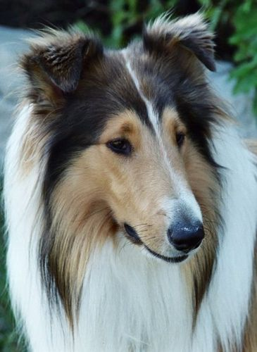 Zack Rough Collie Rough collie, Collie, Collie breeds