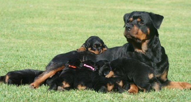 American Rottweiler Puppies For Sale Cute Puppies Rottweiler