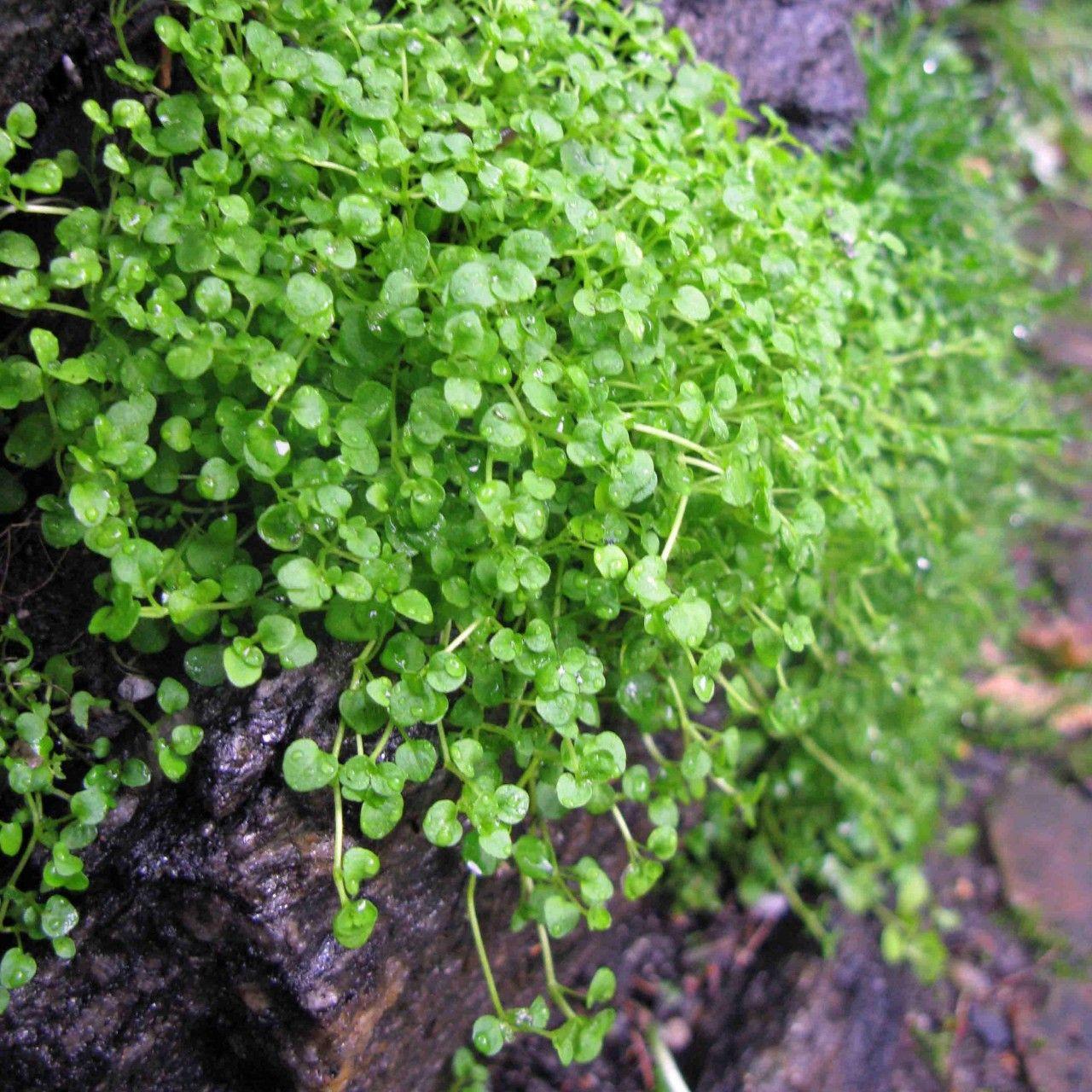 Plant De Menthe En Pot mentha requienii, (corsican mint) herb plant | plants