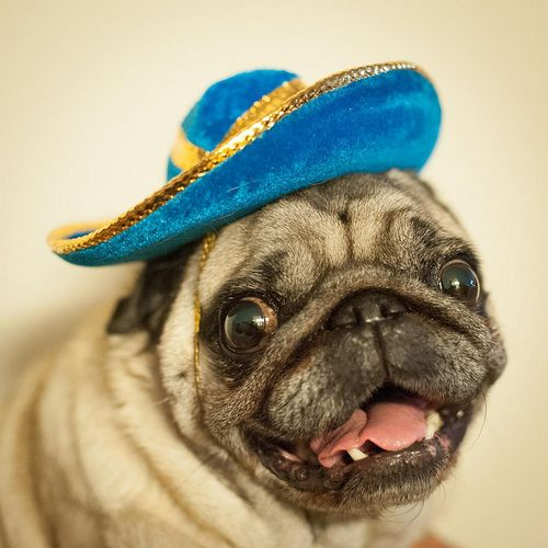 A Pug In A Jaunty Hat Pugs Silly Animals Pug Love