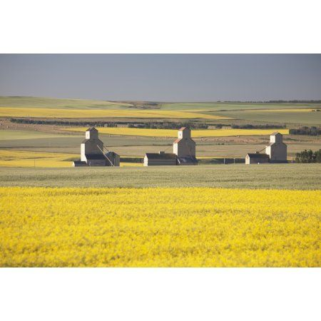 Three Old Wooden Grain Elevators At Sunrise With Flowering Canola ...