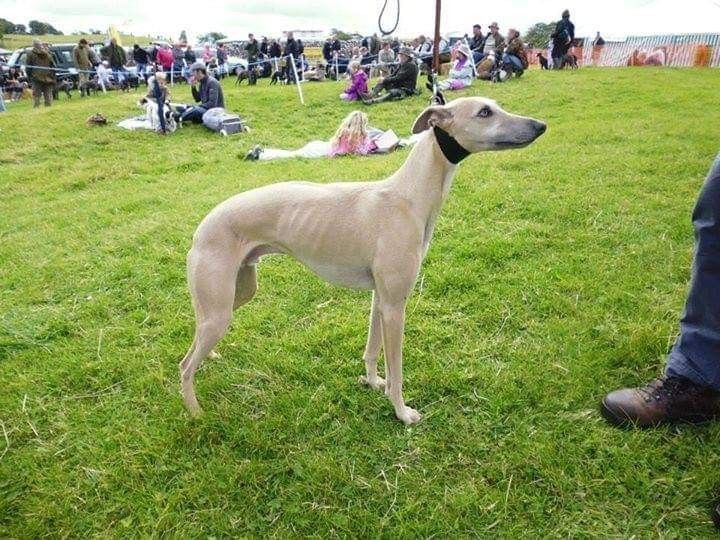 K C Whippet Pups For Sale Ready To Go Now Halifax West