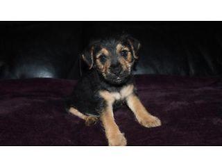 Gorgeous Lakeland X Border Terrier Puppies Tiverton Picture 2