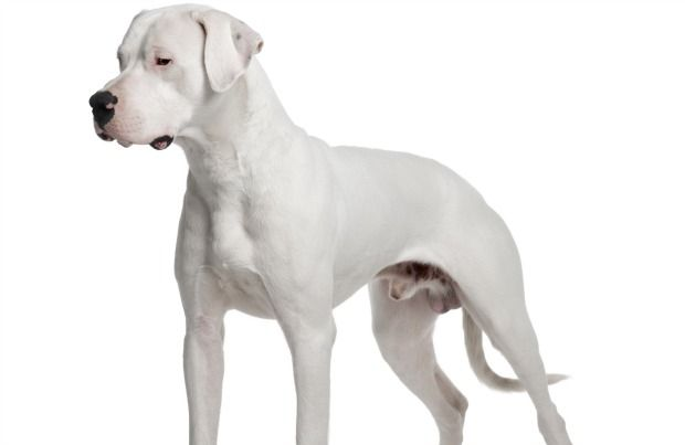 Dogo Argentino Breed History Information And Pictures Pet360 Pet Parenting Simplified Kopek