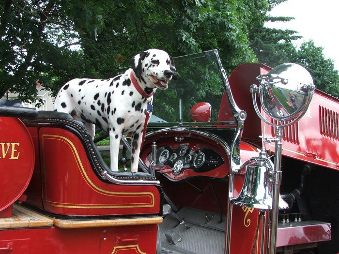 Fire Dog By Bill Alley On Capture Southwest Washington Dalmation On A Vintage Firetruck You Don T See Dalmations On Fi Southwest Washington Dogs Fire Trucks