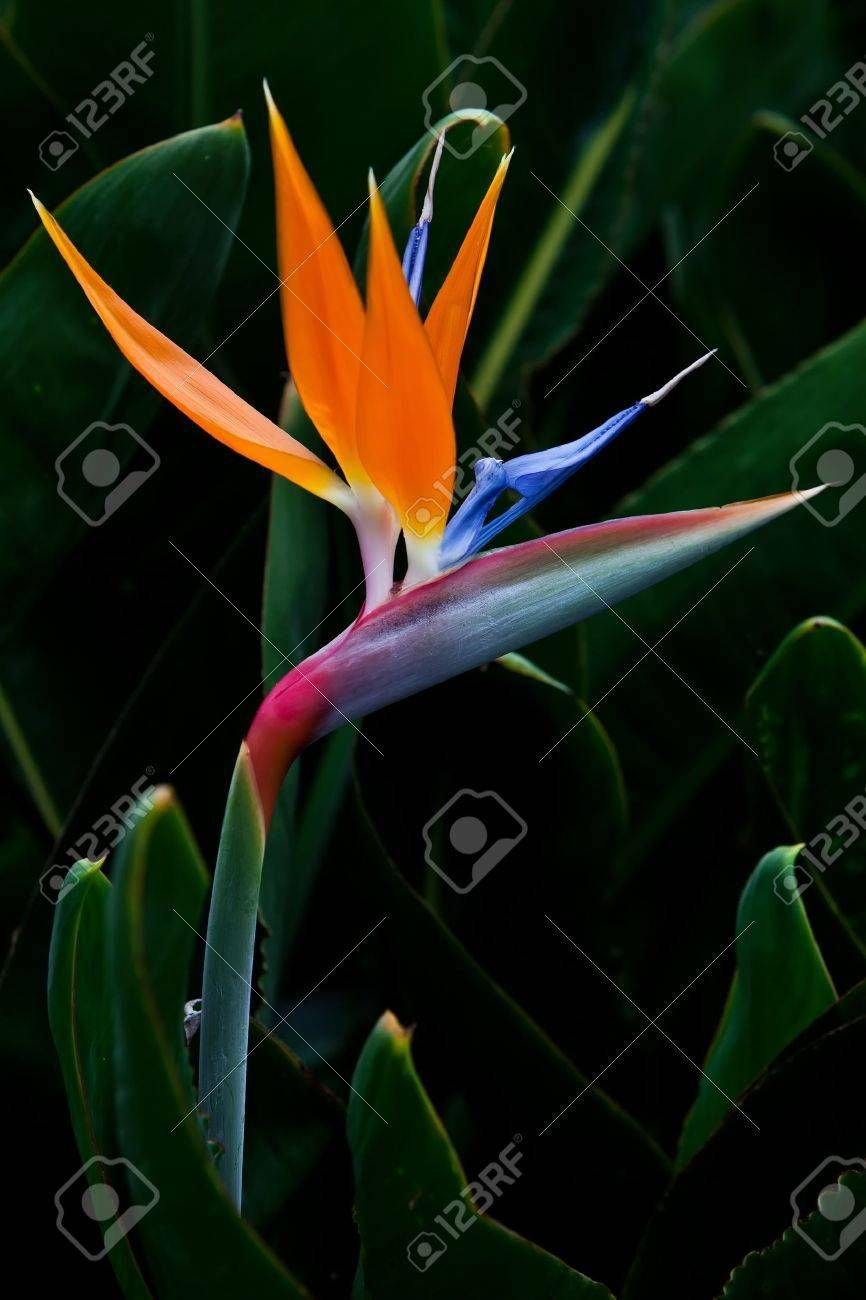Pictures Of Bird Of Paradise Flower