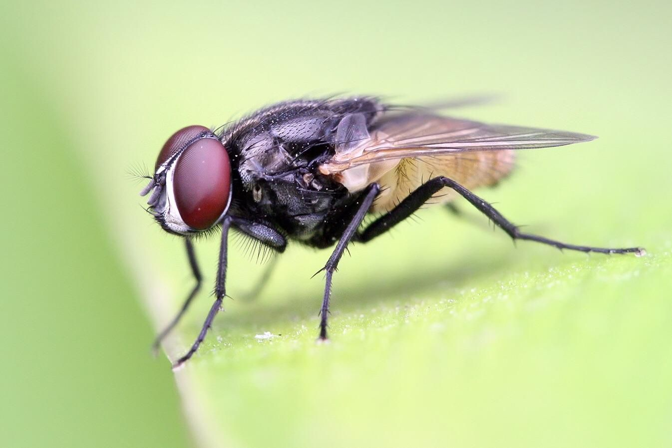 Cute Resting House Fly Fly Control Insects Bamboo Species