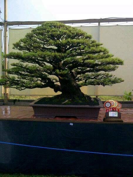 Bonsai by vilma