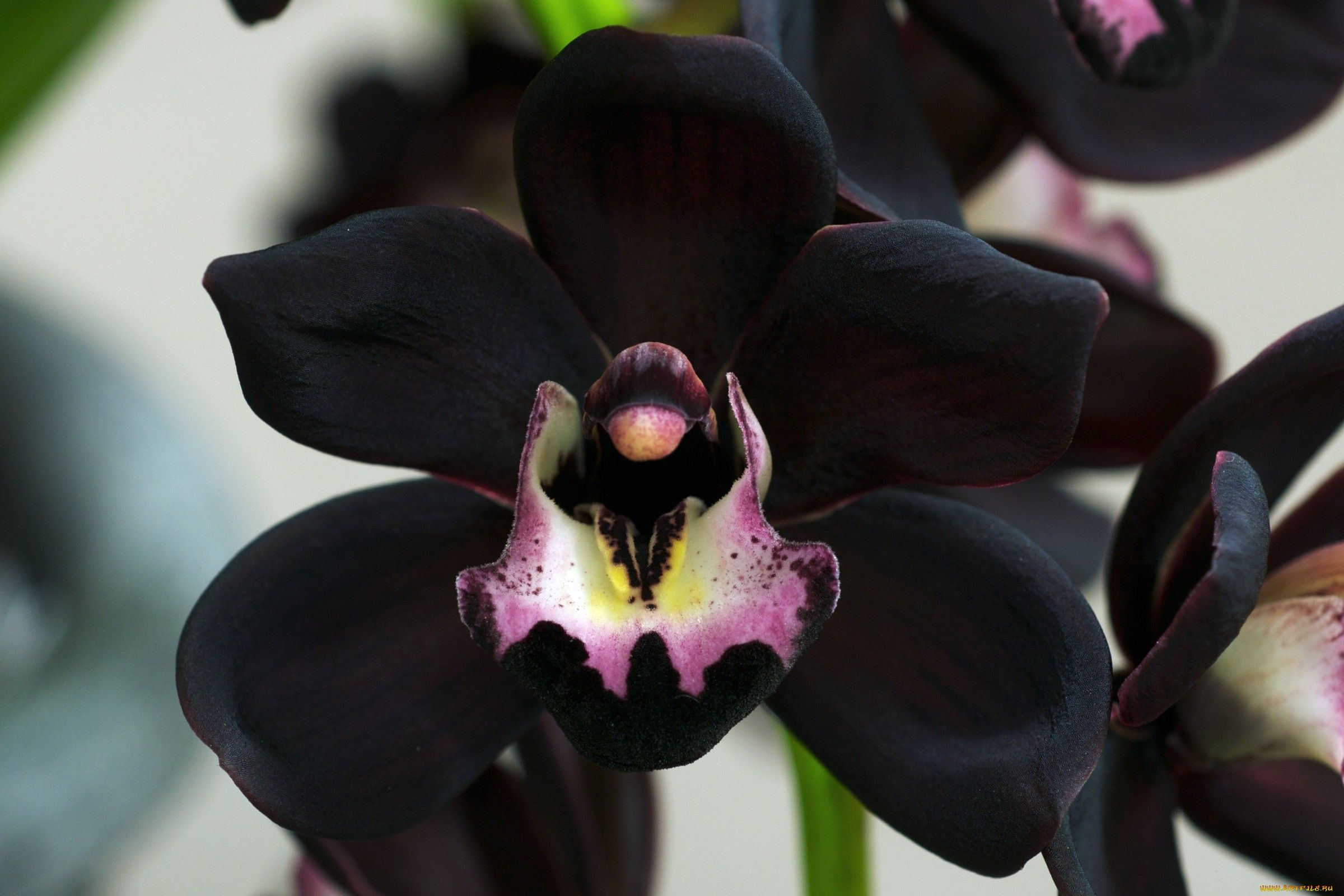 10 Real Black Flowers High Resolution Wallpapers Orchid Flower Orchids Black Orchid