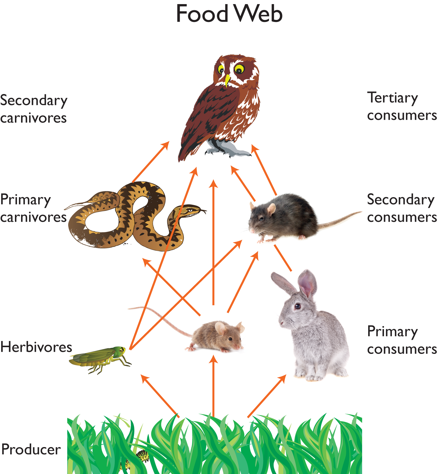 Owl food web owls pinterest owl food food webs and owl for Food bar owl