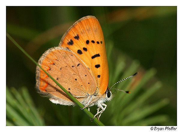 Dorcas Copper Lycaena Dorcas Photography Resources Butterfly Copper