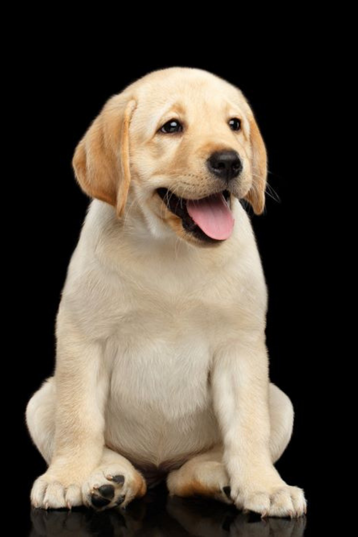 Golden Labrador Retriever Puppy Funny Sitting And Smiling Isolated On Black Background Front View Goldenretrie Labrador Retriever Labrador Puppy Labrador Dog