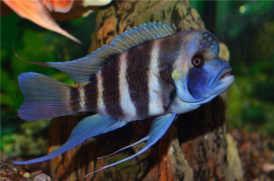 African cichlid frontosa fish pets aquarium for Lake tanganyika fish