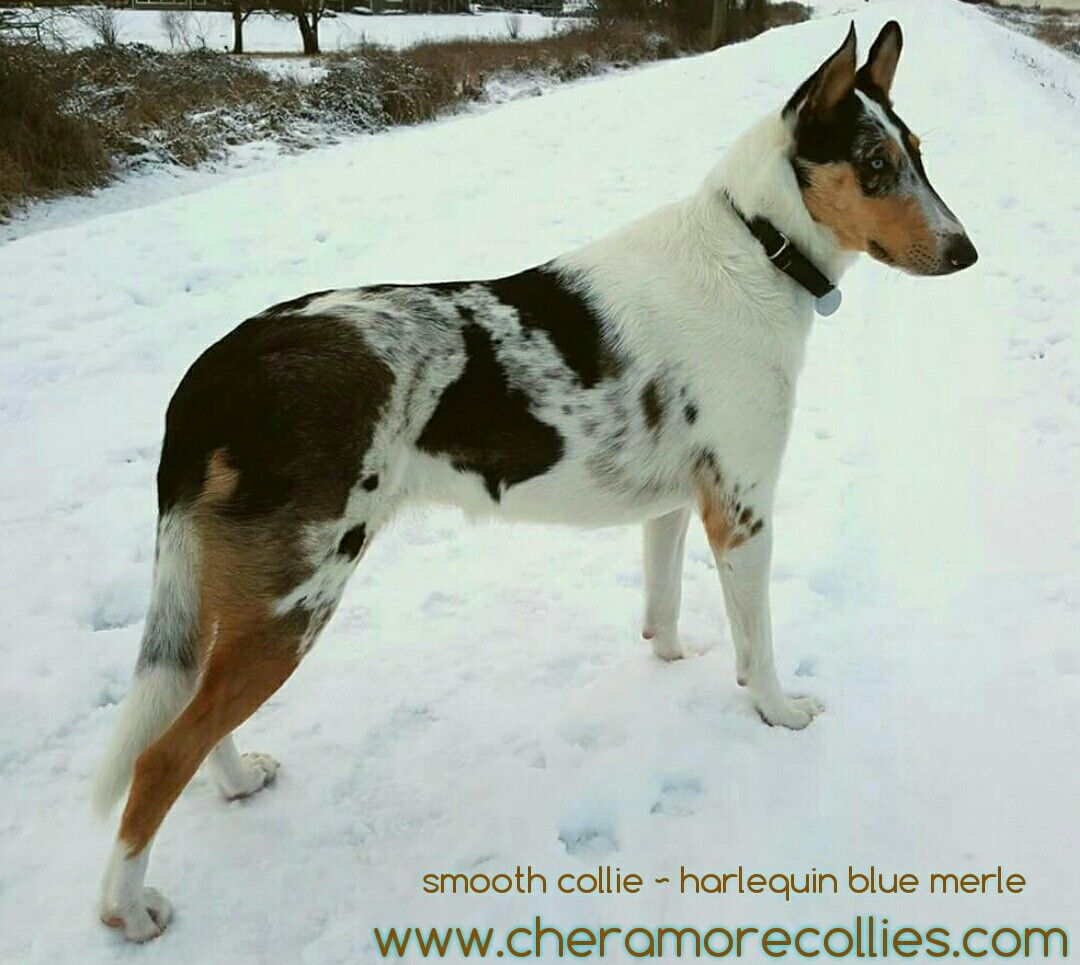 Smooth Collie Harlequin Blue Merle Www Cheramorecollies Com