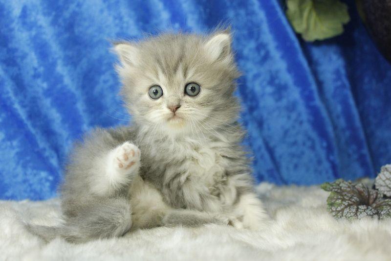 Rosemary Blue Mitted Lynx Solid Ragdoll Cat Kitten From Www Ragdollkitten Us Kittens Cutest Ragdoll Kitten Kitten