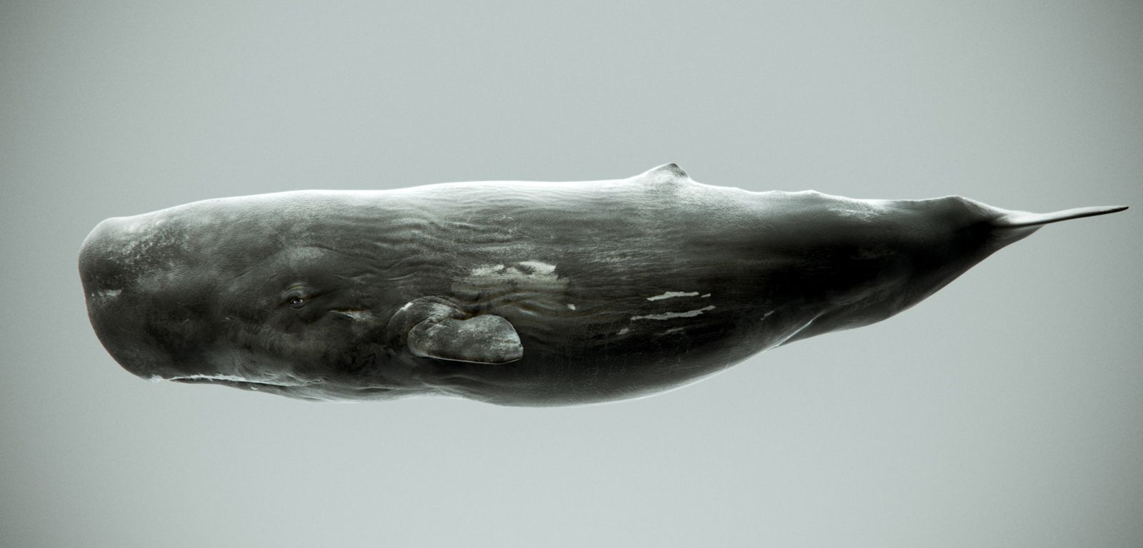 Sperm whale painting