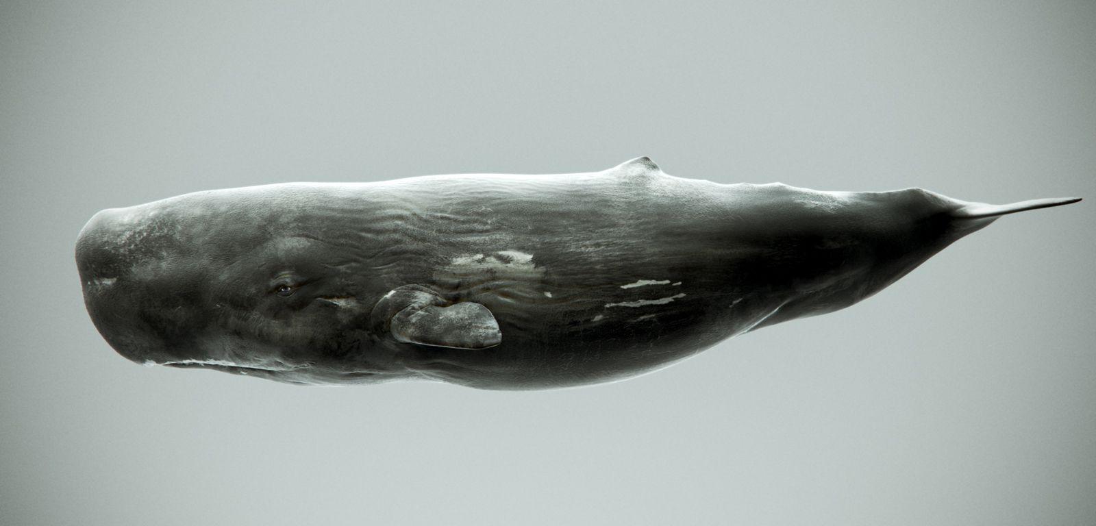 whales model sperm