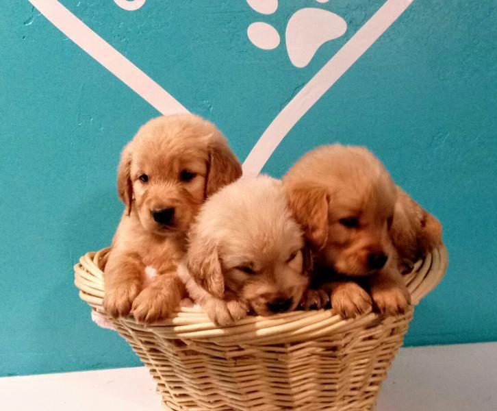 AKC Golden Retriever Puppies Dog hacks, Retriever puppy