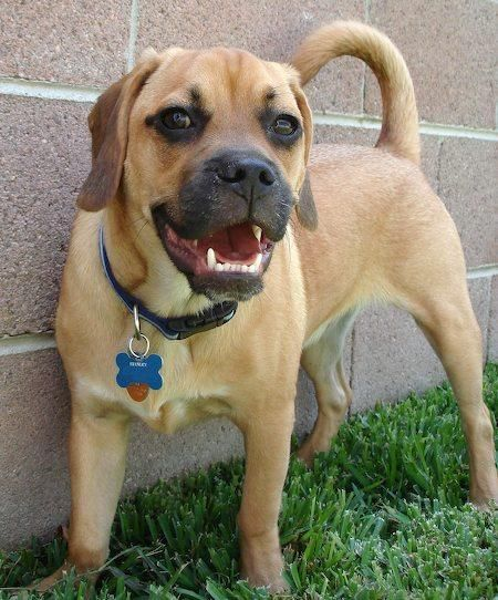 Stanley The Puggle Dog Pug X Beagle Puggle Dogs Puggle Puppies