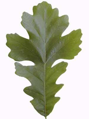 Okplantid Leaf Detail Bur Oak Tree Leaves Plant Leaves