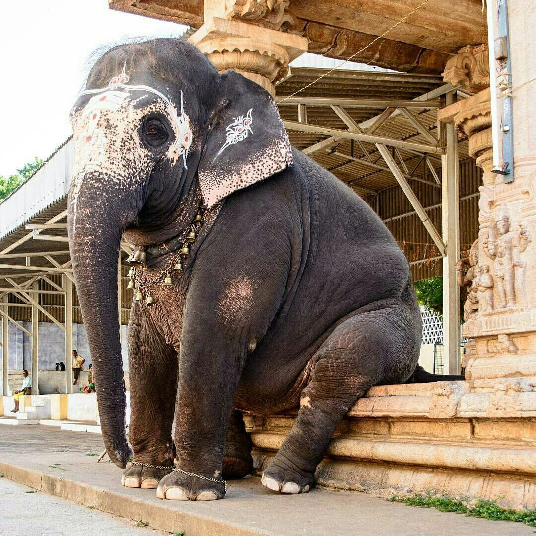 India. The temple elephant taking a break. Elephant