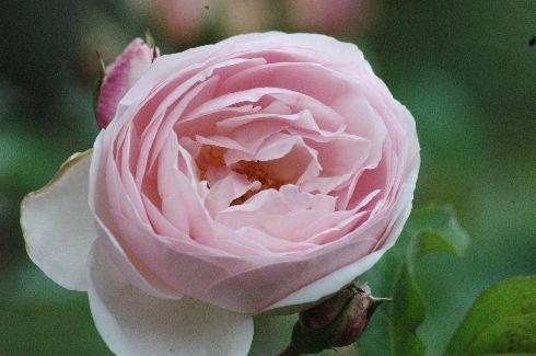 Heritage Englische Rosen Ab 10 90 Www Schmid Gartenpflanzen De Rose Heritage David Austin Rosen Pflanzen Rosen