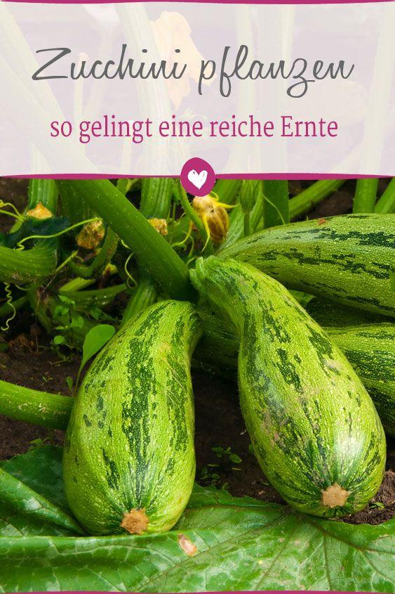 zucchini im eigenen garten pflanzen pinterest zucchini tipps und g rten. Black Bedroom Furniture Sets. Home Design Ideas