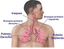 Resultado de imagen de bronquios y los pulmones