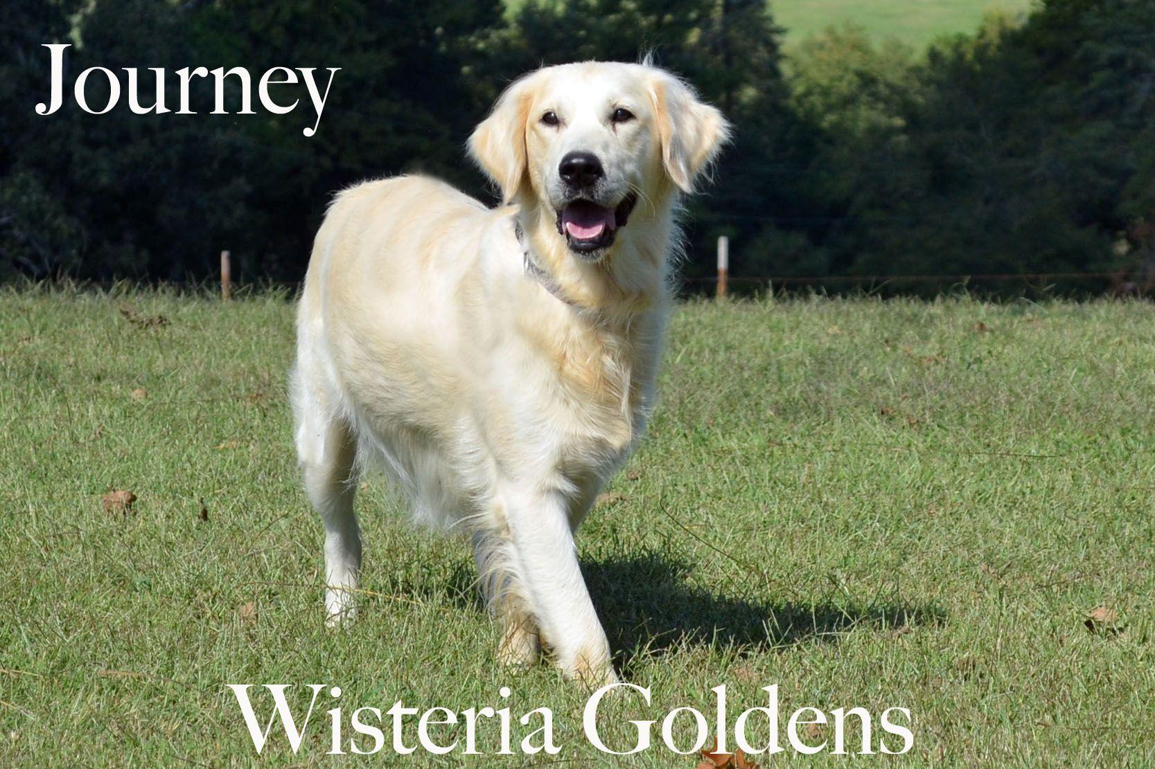 Journey English Golden Girl Dog English Creme Golden
