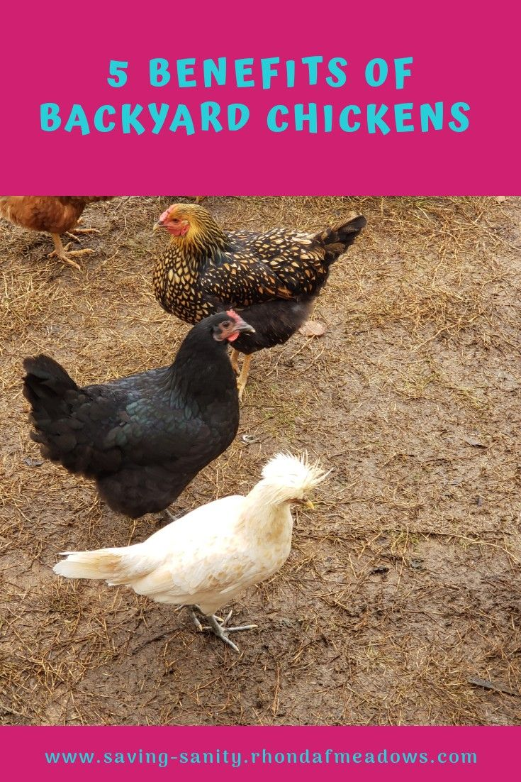 5 great benefits to having backyard chickens . in 2020 ...