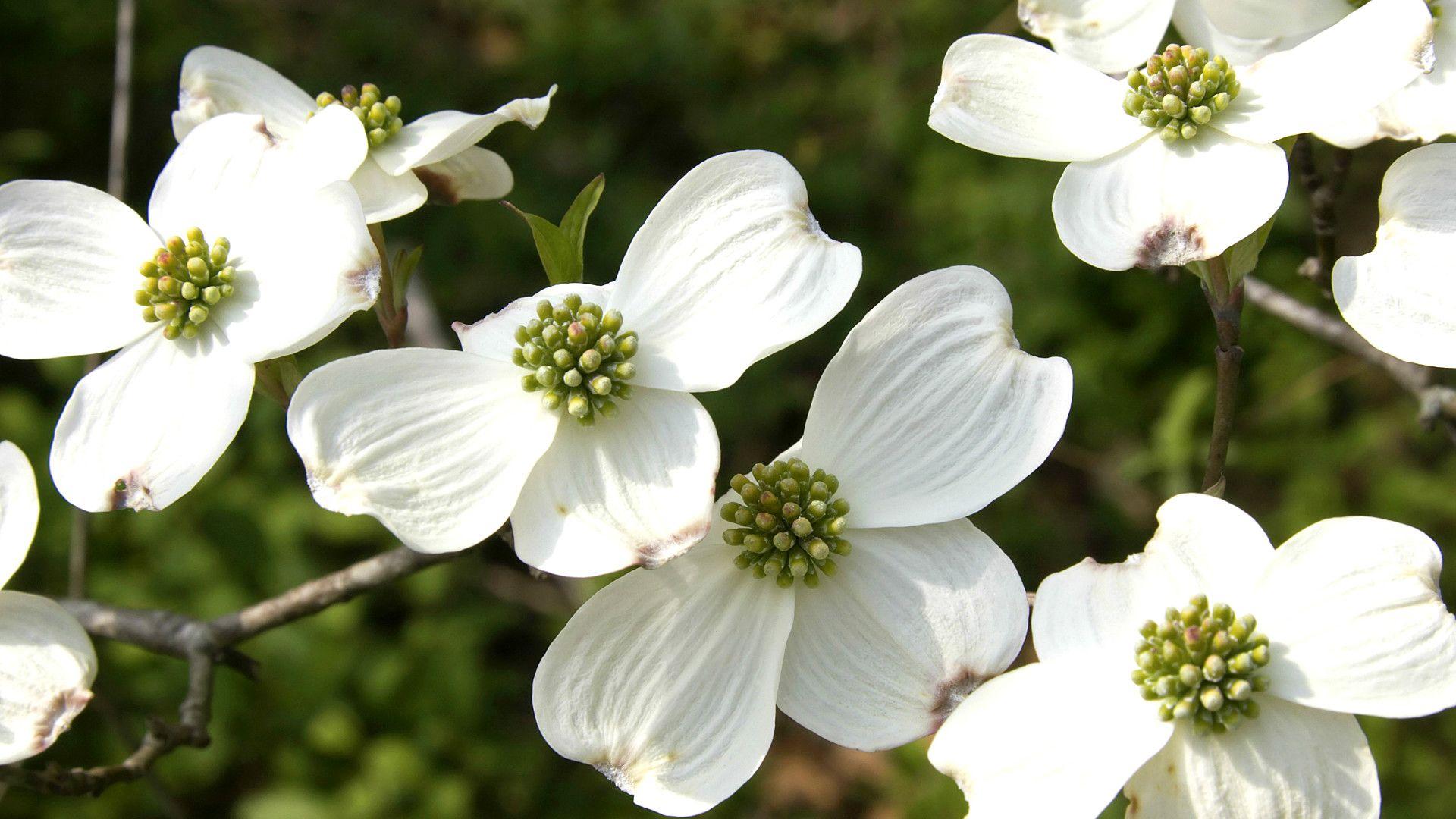 White Dogwood A Crowd Pleaser Dogwood Blooms Bloom Dogwood Trees