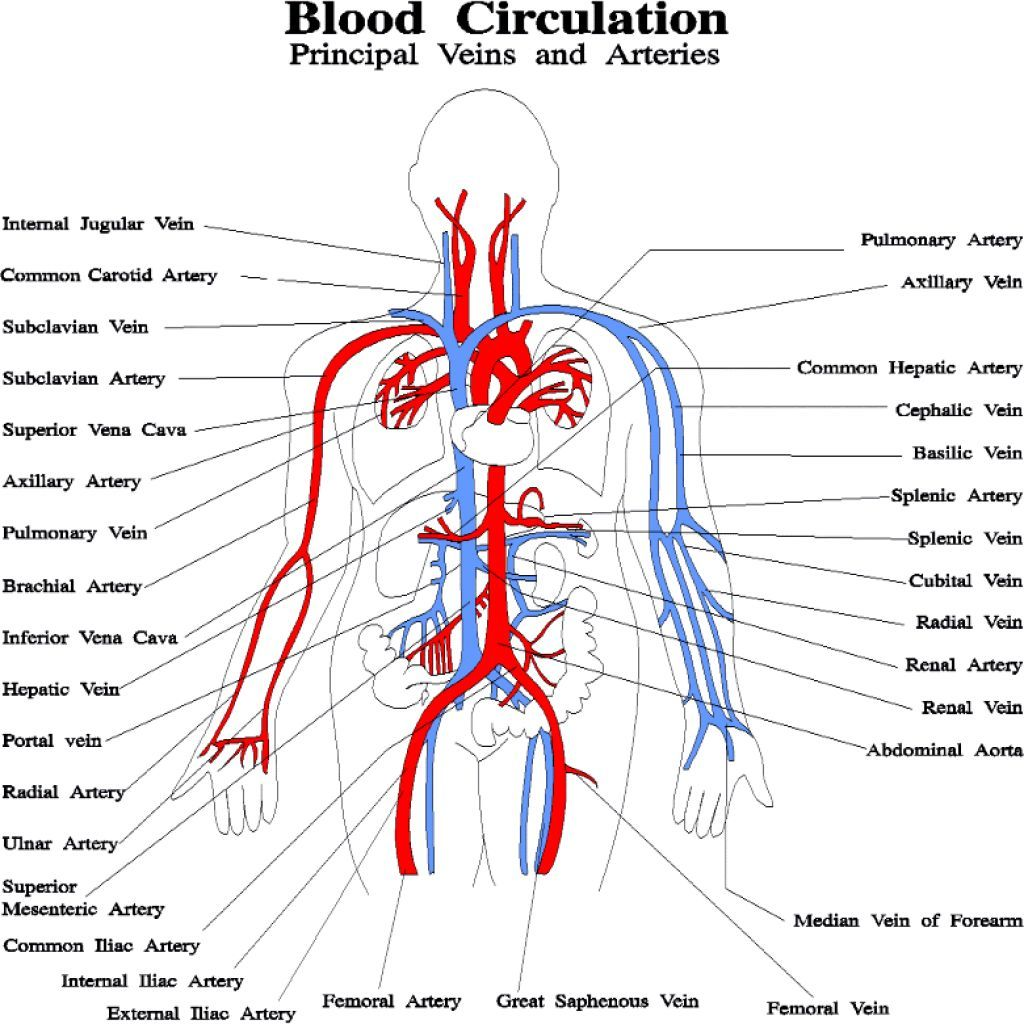 Resultado De Imagen De Circulatory System For Kids Worksheets