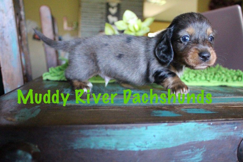 Muddy River Dachshunds Isabella Dapple Dachshund Puppies