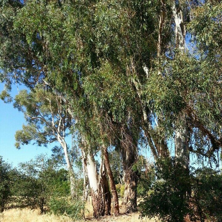 Eucalyptus Trees Eucalyptus Tree Tree Eucalyptus