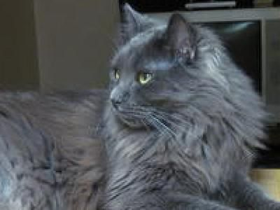 Nebelung Cats Nebelung Cat Breed Info Pictures Petmd Nebelung Cat Nebelung Cat Breeds