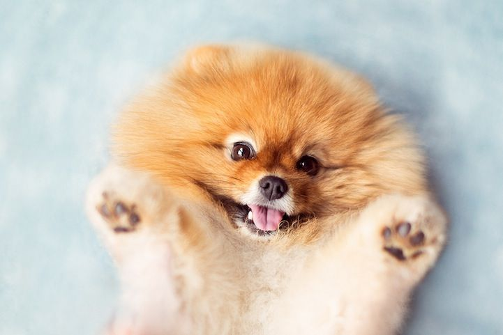 Meet Flint An Adorable Pomeranian That Will Melt Your Heart