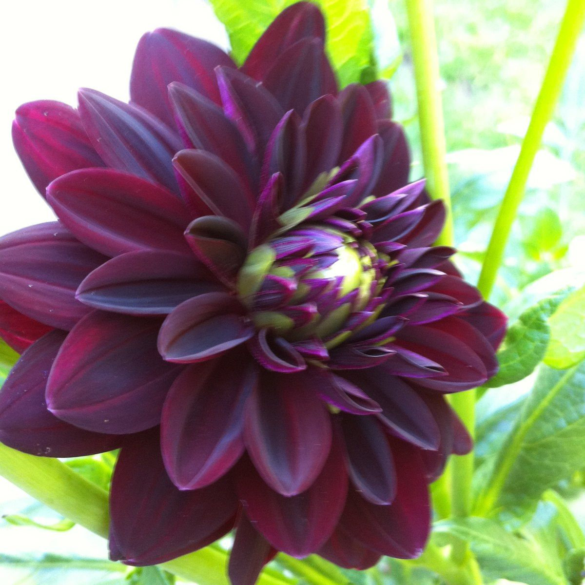 Dahlia flower var arabian nights dahilas pinterest dahlia dahlia flower var arabian nights izmirmasajfo