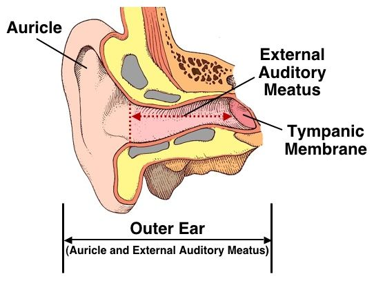 External Auditory Meatus Bone Figure 2. Outer ear, c...