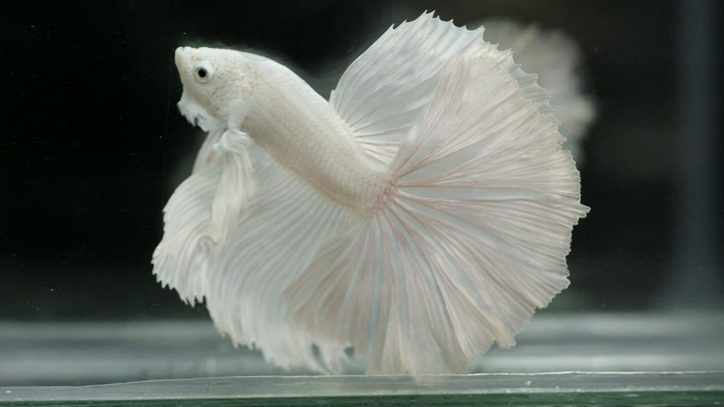 Free Wallpaper For Iphone 7 Plus With Albino Betta Fish Picture