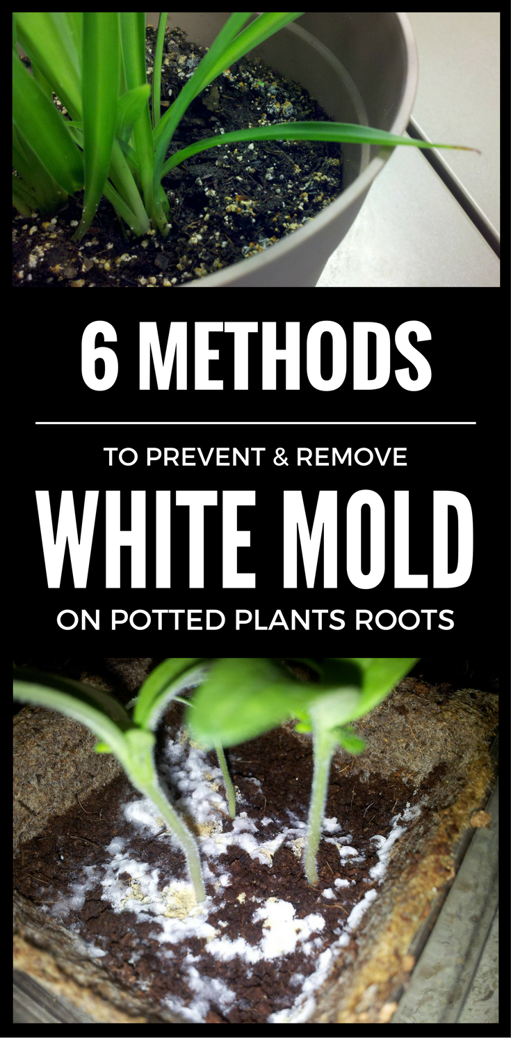 6 Methods To Prevent Remove White Mold On Potted Plants Roots Plants Plant Roots Potted Plants