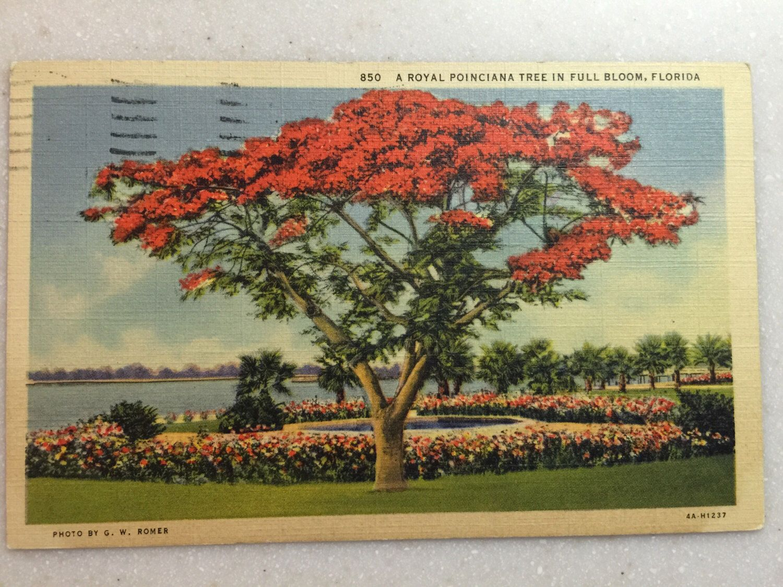Shapely Full Bloom Florida Bylorasvintageshop On Etsy Https Vintage Fl Postcard Royal Poinciana Tree Vintage Fl Postcard Royal Poinciana Tree Full Bloom Florida