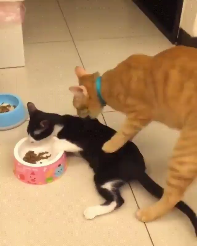 This Is MY Food - Get Away 😾 #funnypetgifs #funny #petgifs #cats #funnycats #funnycatgifs