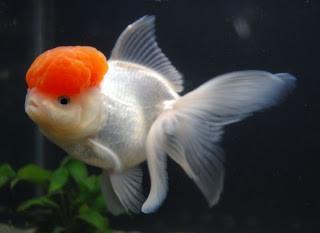 Goldfish Red Cap Oranda Aquarium Fish For Sale Goldfish Aquarium Fish
