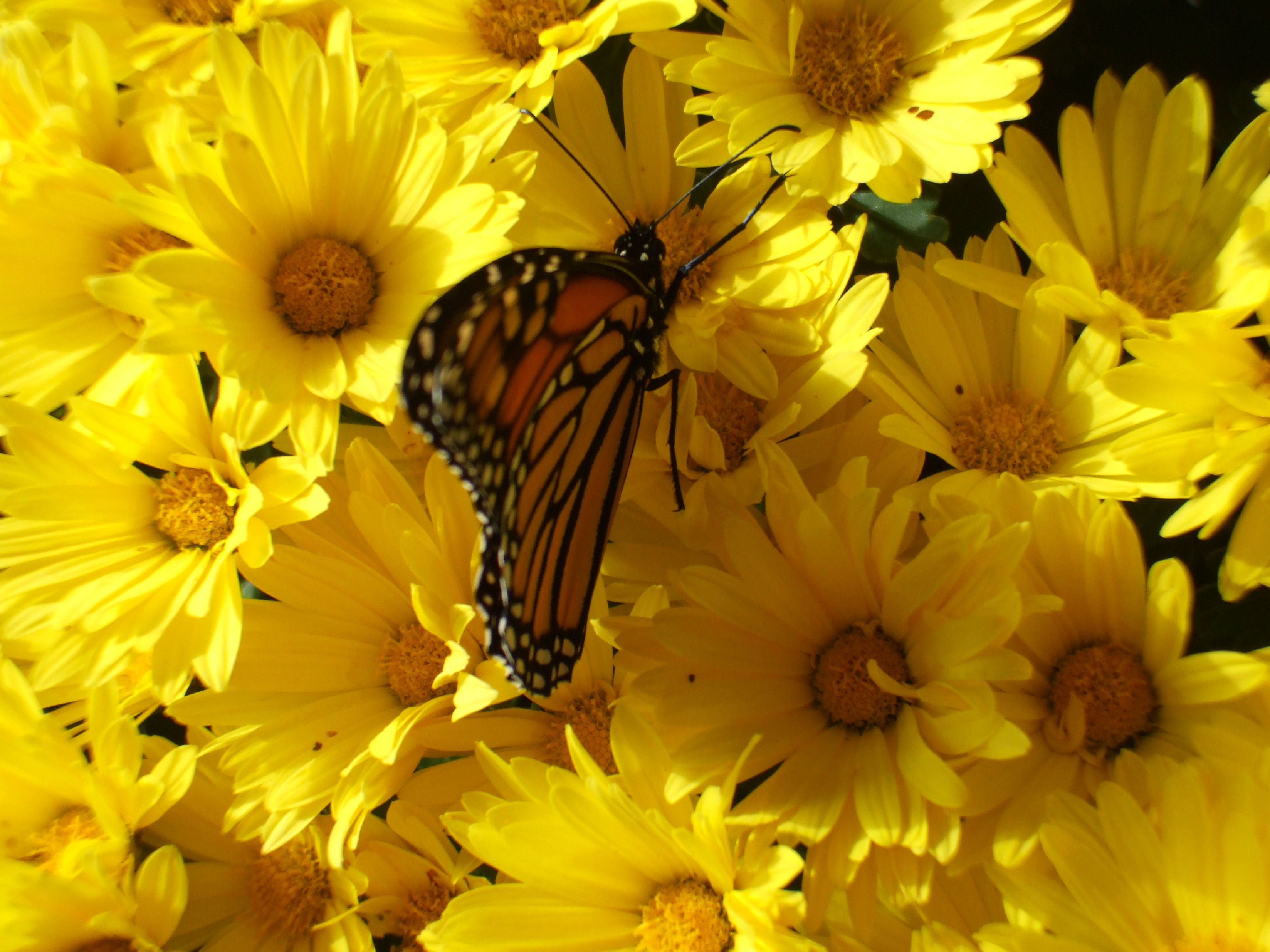 Monarch on the flowers, outside of a flower shop in Wisconsin ...