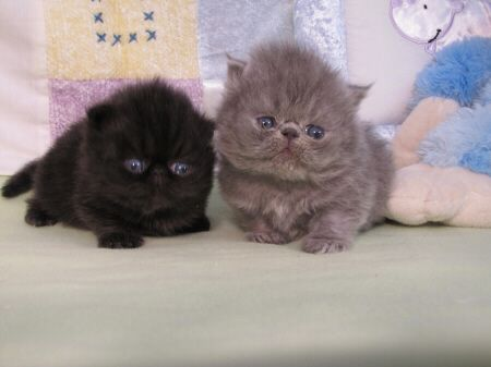 Look At The Faces Persian Kittens Kittens Cats And Kittens