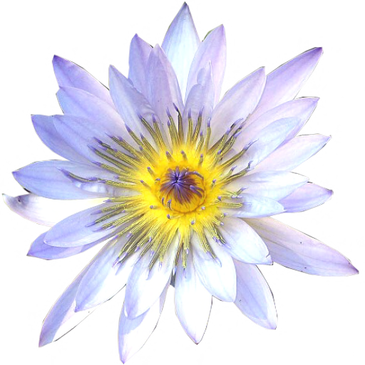 White Water Lily top view by LilipilySpirit Top view