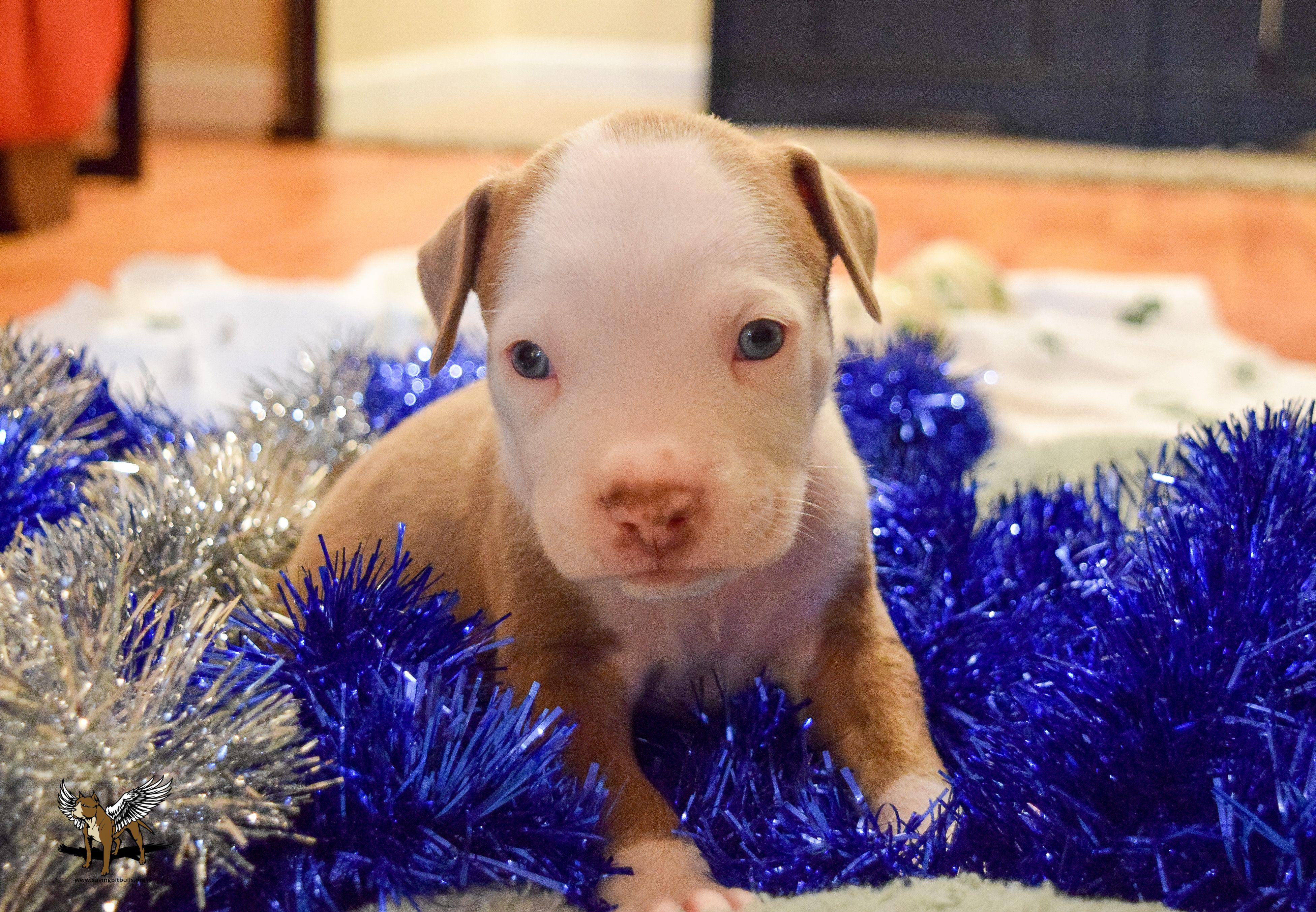 Born Oct 30 2016 Pitbull Puppy Friends To The Forlorn Pitbull Rescue Adopt Foster Rescue Fttf Pitbull Rescue Puppy Friends Pitbulls