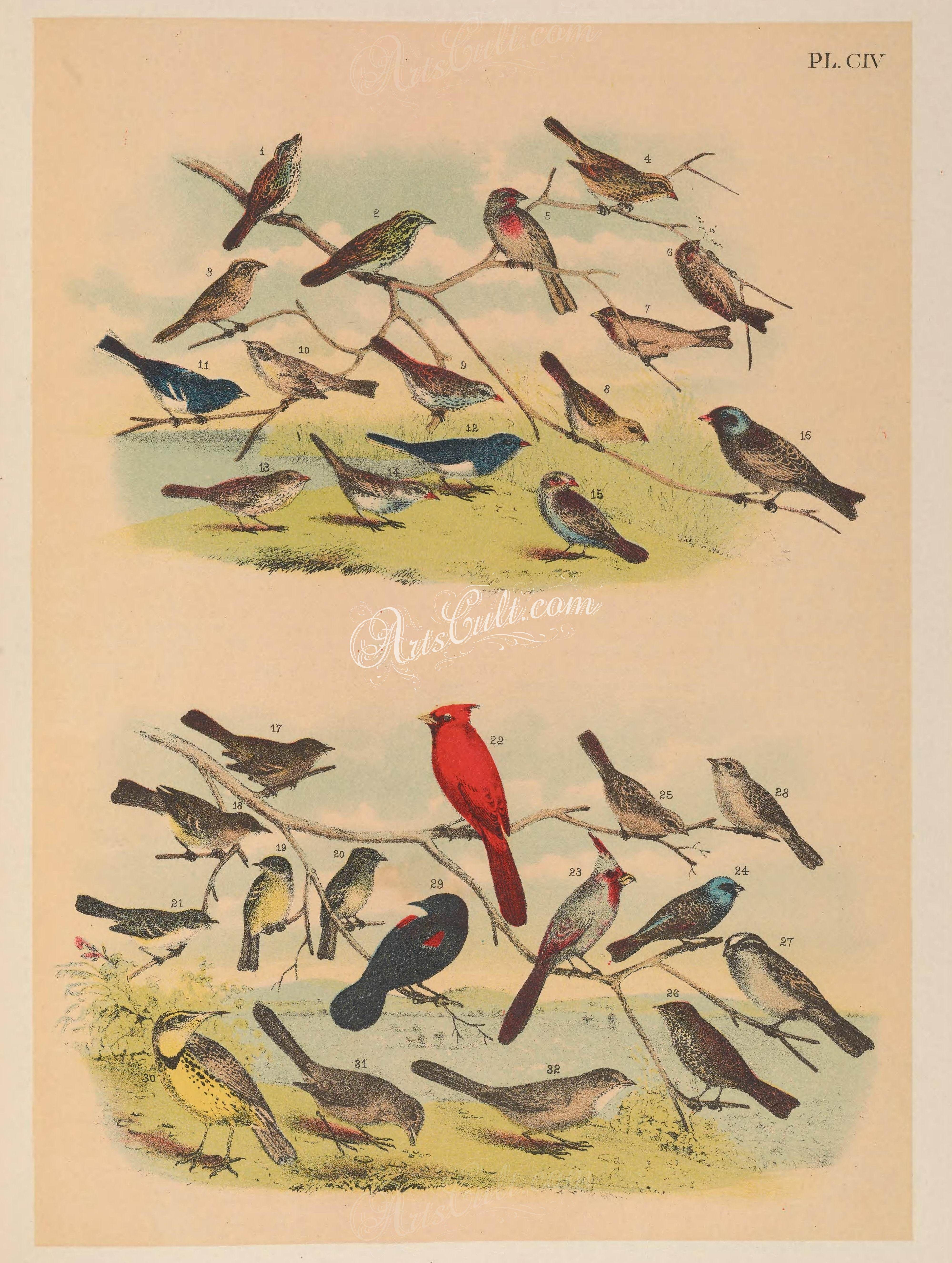 104-Gould's or Samuel's Song Sparrow (1), Heerman's or California Song Sparrow (2), Leconte's Sparrow or Bunting (3), Kodiak Song Sparrow (4), Mexican Purple Finch (5), Dusky Redpo   ...