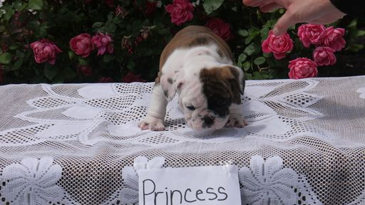 English Bulldogge Puppy For Sale In Munfordville Ky Adn 32044 On